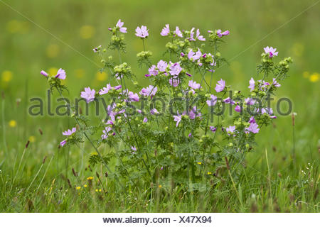musk mallow, musk cheeseweed (Malva moschata), blooming in a meadow, Germany, North Rhine-Westphalia - Stock Photo