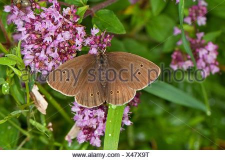 ringlet (Aphantopus hyperantus), searching for nectar, Germany - Stock Photo