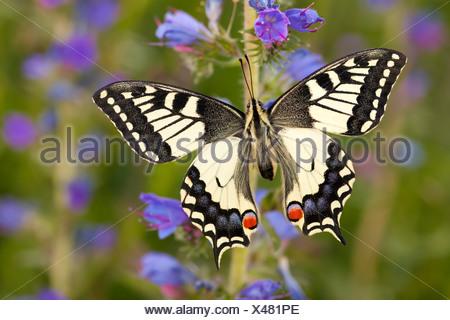 Common Swallowtail butterfly feeding on Viper's Bugloss / Blueweed in alpine meadow. Nordtirol, Tirol, Austrian Alps - Stock Photo