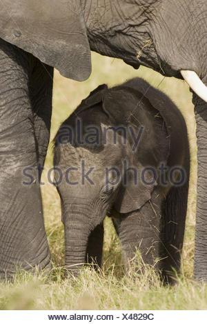 Elephants (Loxodonta africana). Few days old baby elephant and mother - Stock Photo