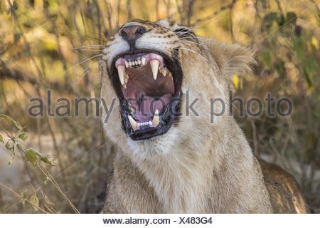 Lion, (Panthera leo) yawning - Stock Photo