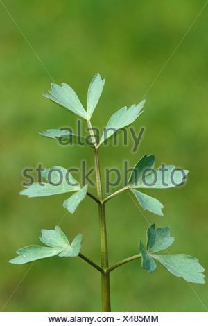 Lovage - Stock Photo