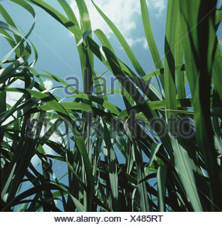 Maturing elephant grass Miscanthus sp grown as a crop to provide a sustainable fuel source - Stock Photo