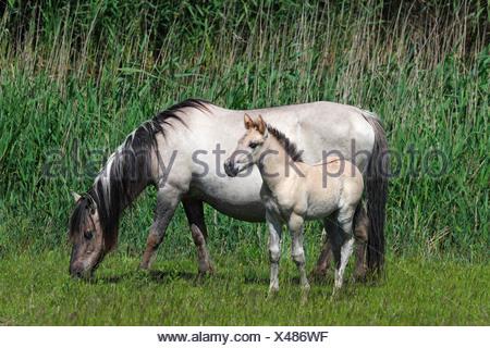 Mare and foal, Konik horse or Polish Primitive Horse, Tarpan breeding back (Equus przewalskii f caballus) - Stock Photo