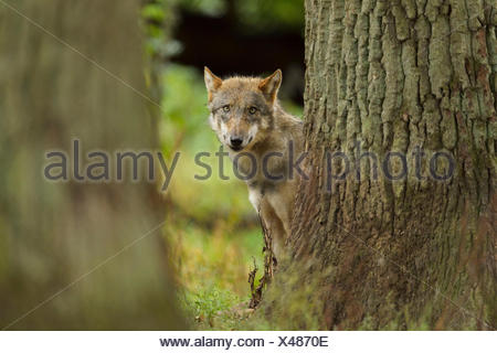 European Gray Wolf, Canis lupus lupus, Germany - Stock Photo