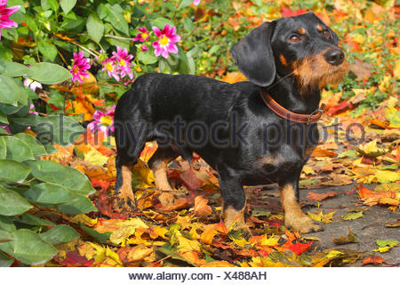 Wire-haired Dachshund, Wire-haired sausage dog, domestic dog (Canis lupus f. familiaris), black and tan nineteen months old male dog standing in autumn foliage in front of dahlias, Germany - Stock Photo