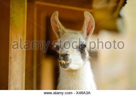 llama (Lama glama), portrait - Stock Photo