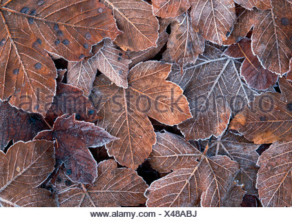 Frost-covered autumn leaves, Tirol, Austria - Stock Photo