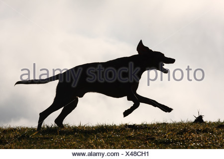 male Weimaraner - Stock Photo