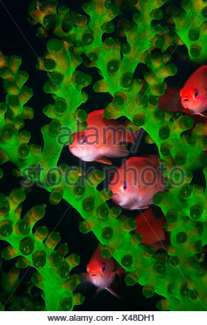 Jewel fairy basslet lyretail anthias hide in coral Pseudanthias squamipinnis Komodo Flores Sea Indonesia - Stock Photo