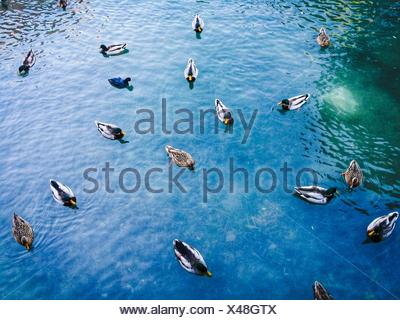 High Angle View Of Mallard Ducks Swimming In River - Stock Photo