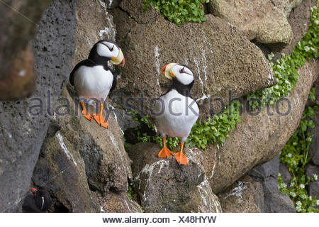 Horned Puffins Perched On Cliffside At St. Paul Island, Pribilof Islands, Alaska - Stock Photo