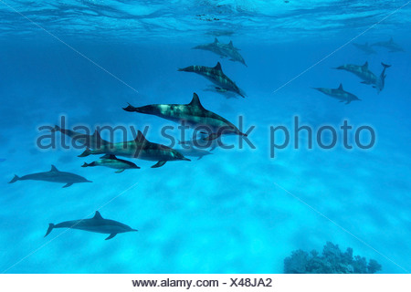 Group of Spinner Dolphins (Stenella longirostris), Ras, Marsa Alam, Egypt, Red Sea, underwater shot - Stock Photo