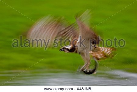 Osprey fishing for salmon trout, Finland (Pandion haliaetus) - Stock Photo