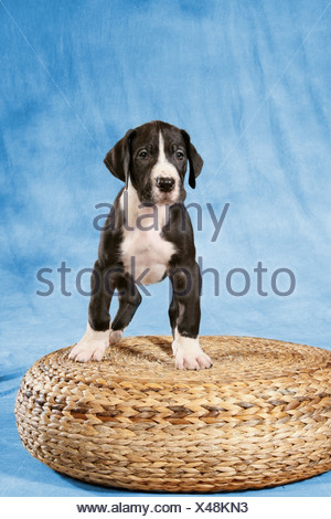 young Great Dane - standing - Stock Photo