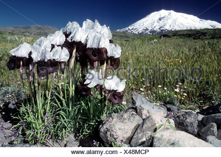 bearded iris (Iris elegantissima, Iris iberica ssp. elegantissima), White lily from Ararat, Turkey, Ararat - Stock Photo