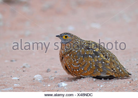 Variegated sandgrouse, Burchell's sandgrouse (Pterocles burchelli), male sitting in the sand, South Africa, Kgalagadi Transfrontier National Park - Stock Photo