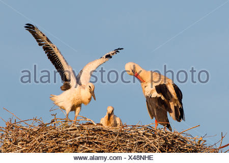 White Stork (Ciconia ciconia), adult bird with two chicks on the nest, North Hesse, Kassel - Stock Photo