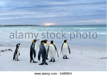 King Penguins (Aptenodytes patagonicus) and a Magellanic Penguin (Spheniscus magellanicus), Volunteer Point - Stock Photo