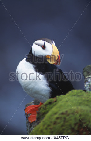 Horned Puffin - Stock Photo