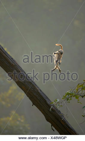 Hanuman / Northern Plains Grey Langur (Presbytis entellus) youngster in mid-air leaping from a sloping tree trunk to a nearby tree sapling. Bandhavgarh National Park, India. Non-ex. - Stock Photo