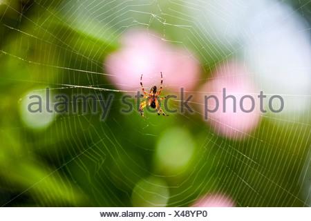 European Garden Spider or Cross Orbweaver (Araneus diadematus) with prey in its web, Hesse, PublicGround - Stock Photo