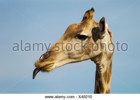 Southern Giraffe (Giraffa giraffa) female sticking out its tongue - Stock Photo