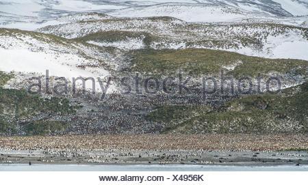 King penguin, Aptenodytes patagonicus, breeding colony on Salisbury Plain. - Stock Photo