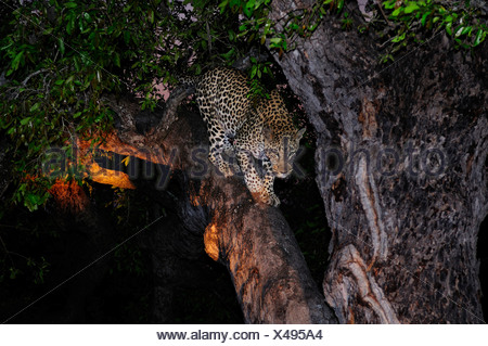 Leopard Panthera pardus Ulusaba Sir Richard Branson's Private Game Reserve Sabi Sands Game Reserve Mpumalanga South Africa - Stock Photo