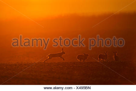 Brown Hares Lepus europaeus boxing at dawn Norfolk spring - Stock Photo