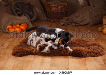 Australian Shepherd, puppies, red-merle and black-tri, playing - Stock Photo