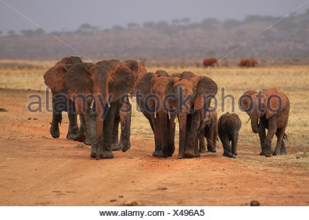 African elephant (Loxodonta africana), herd of elephants after a mud bath, Kenya, Tsavo East National Park - Stock Photo