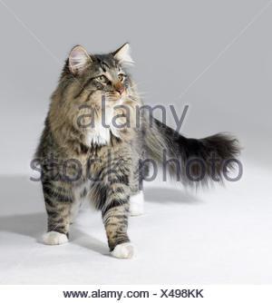 tabby norwegian forest cat - Stock Photo