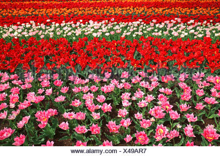 Colourful flower bed with different tulip varieties, blooming Tulips (Tulipa), Keukenhof, Lisse, The Netherlands - Stock Photo