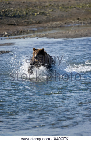 A Brown Bear charges through the water in Katmai National Park. - Stock Photo