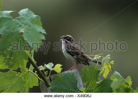 Male Lark sparrow (Chondestes grammacus) singing in vineyard near Osoyoos, British Columbia, Canada - Stock Photo