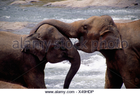 Two Sri Lankan elephants embracing, one with its trunk over the other's head, Pinnewela Elephant Orphanage, Sri Lanka. - Stock Photo
