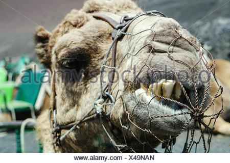 Close-Up Of Camel Head With Muzzle - Stock Photo