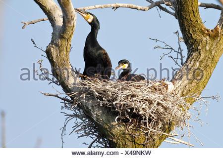 Great cormorants (Phalacrocorax carbo), couple in nest in tree, nature river area Peenetal, Mecklenburg-Western Pomerania - Stock Photo