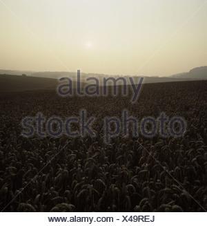 Weak evening sunlight over ripe wheat crop in rolling fields Berkshire - Stock Photo