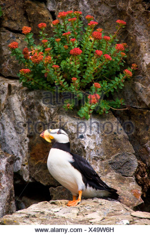 Horned Puffin, Alaska Maritime National Wildlife Refuge near Lake Clark National Park, Alaska. - Stock Photo