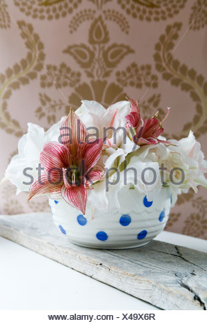 Amaryllis in a bowl, Sweden. - Stock Photo