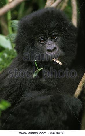 Mountain Gorilla, gorilla gorilla beringei, Portrait of Young, Virunga Park in Rwanda - Stock Photo