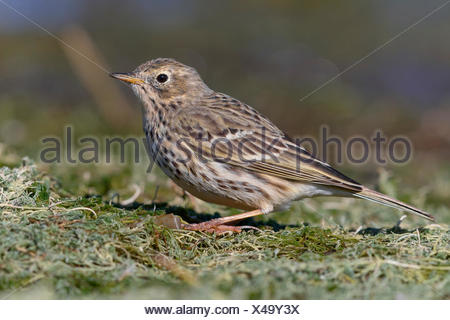 Meadow pipit (Anthus pratensis), standing on ground, Campania, Italy - Stock Photo