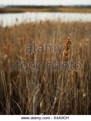 Dry grass, close up - Stock Photo