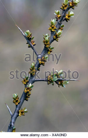 common seabuckthorn (Hippophae rhamnoides), branch with flowers, Germany - Stock Photo