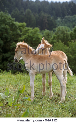 Finnish horse - two foals smoothing - Stock Photo