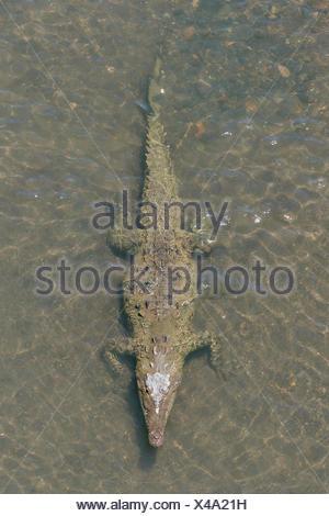 American crocodile (Crocodylus acutus) in the water, Rio Tarcoles, Carara National Park, Province of Puntarenas, Costa Rica - Stock Photo