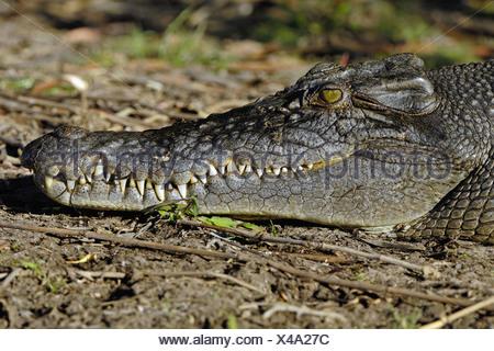 saltwater crocodile, estuarine crocodile (Crocodylus porosus), portrait, Australia, Northern Territory, Kakadu NP - Stock Photo
