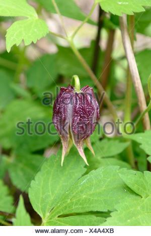 Klematis, Waldrebe, Clematis chiisanensis (Clematis chiisanensis), Knospe | clematis, virgins-bower (Clematis chiisanensis), bud - Stock Photo